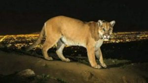 P22_mountainlion